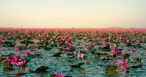 El increíble espectáculo de la flor de loto rosa en Tailandia